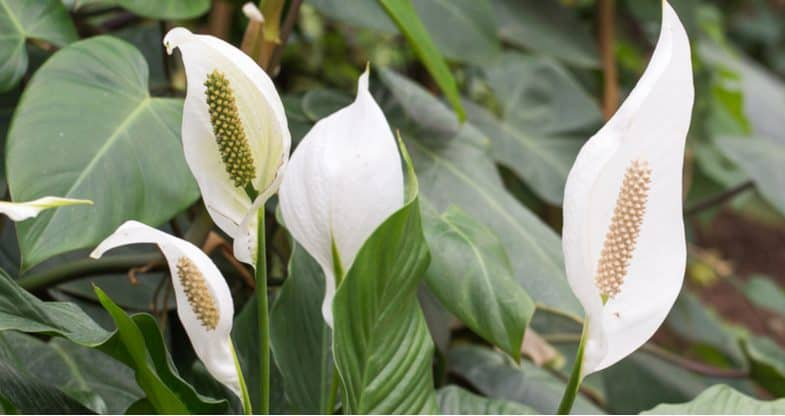 Repotting peace lily – Top tips on how to pot on your root-bound peace lily
