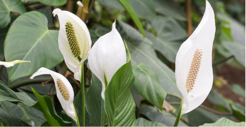 Peace lilies like to have their roots a little restricted but they don't like being root-bound. We look at when and how to repot a peace lily step by step.