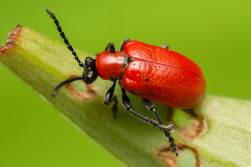 SCARLET LILY BETTLE. The biggest issue you're going to face in terms of pests and problems is the Red Lily Beetle and their grubs which can strip all the foliage from your Lilies and will even eat the buds and flowers.