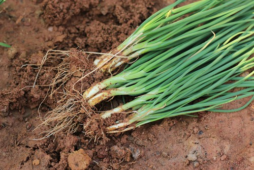 Spring onions to plant in autumn and grow over winter for harvesting early spring