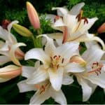 What to do when lilies have finished flowering