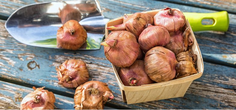 Planting gladiolus bulbs in pots