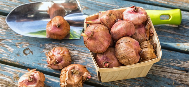 planting gladiolus bulbs in pots. Planting gladioli bulbs in pots can be a great way of growing gladioli, try to choose smaller varieties and choose a wide deep pot with well-draining compost.