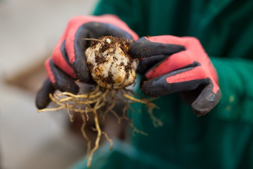 Planting lily bulbs. Plant in autumn or early spring and plant around 20cm deep and add a layer of grit at the bottom of the hole to improve drainage.
