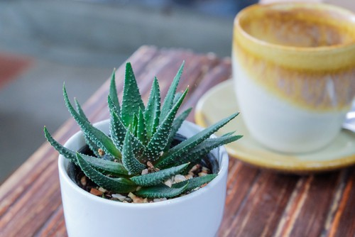 Aloe specimens have spiky foliage with unique blooms occasionally ranging in colour from pink to orange. good beginners plant