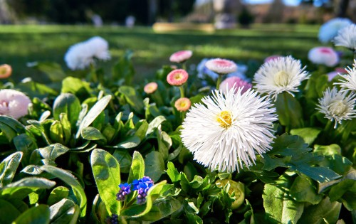 If you are looking for a pom pom appearance in your flowers, Bellis look like soft, fluffy buttons. You can find reddish pink, pink/white, and white. These look quite dramatic when you grow them in beds, because they offer a bright texture and colour all winter long.