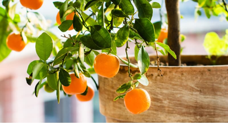 Choosing the best citrus trees for growing in pots