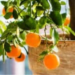 Citrus trees are perfect for growing in containers in the Uk but certain varieties will grow better, we look at 10 of the best citrus trees for pots to consider