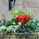 Best winter plants for hanging baskets
