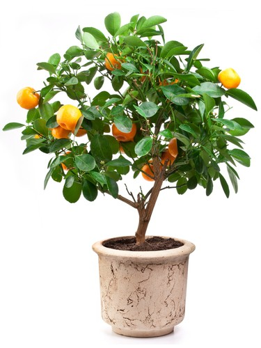Calamondin orange growing in container