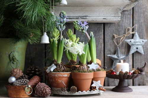 Christmas hyacinths growing indoors