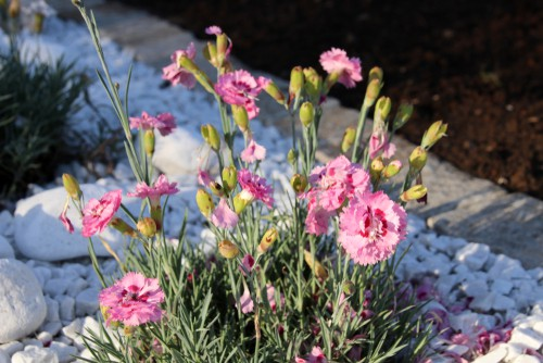 Dianthus are perfect for rock gardens