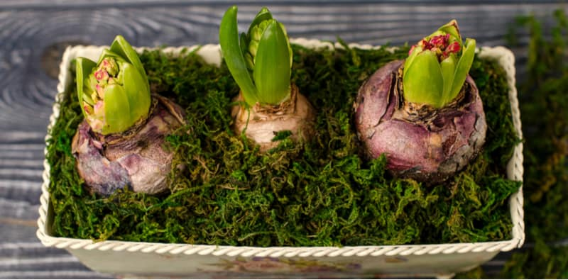 Forcing hyacinth bulbs - when and how to force hyacinth bulbs. Forcing hyacinth bulbs is a process where you force hyacinths to flower earlier so you can grow indoors over winter and at Christmas. Follow step by step now