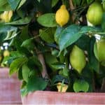 Growing citrus in pots is probably the best way to grow citrus trees because you can bring them indoors over winter. Learn how to grow citrus in pots now.