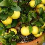 Growing lemon trees in pots. Growing lemon trees in pots can be an excellent way to grow lemons in Uk with the less than ideal weather. Learn more about growing lemons now step by step