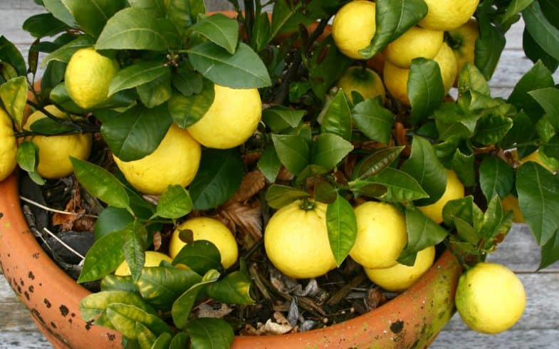 Growing lemon trees in pots and containers