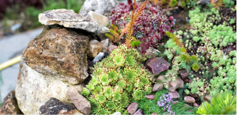 Growing rockery plants from seeds is an enjoyable way to grow succulents. Read our step by step guide from choosing seeds to pricking out plants into containers.