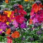 Growing wallflowers from seed can be very rewarding and they can be sown directly in the ground around May. These stunning flowers are also known as Erysimum.
