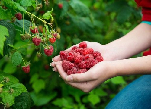Harvesting raspberry plants