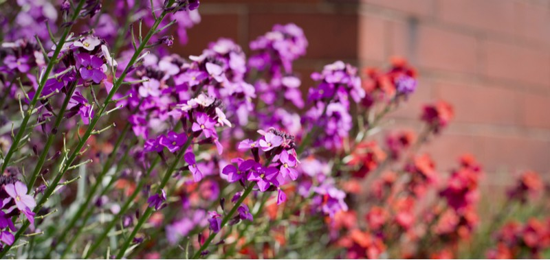 How to grow and care for wallflowers
