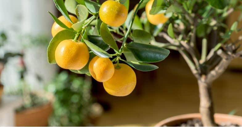 How to grow citrus trees – Planting, pruning, general care and more
