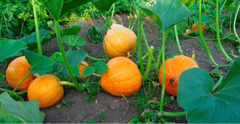 Growing pumpkins can be very enjoyable and if you follow a few simple tips they can be easy to grow. Learn how to grow pumpkins step by step from sowing seeds to feeding