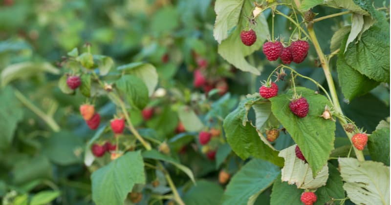 How to grow raspberries - step by step guide