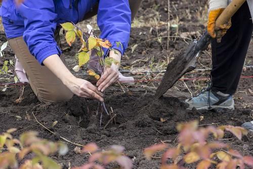 how to plant raspberries
