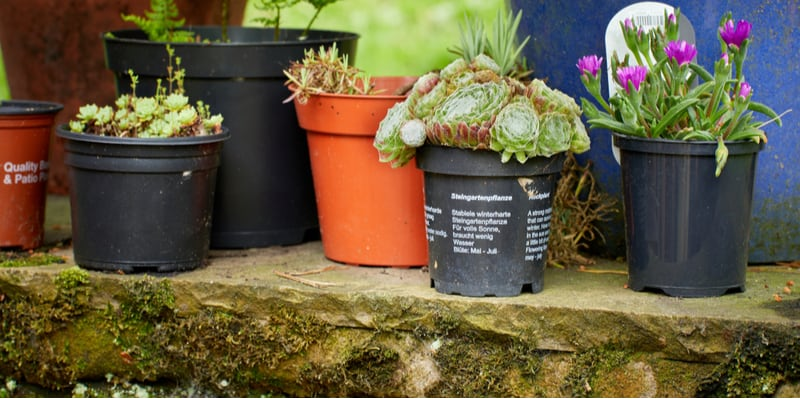How to propagate alpines