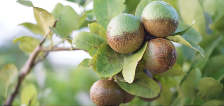 Lemon tree diseases and pests