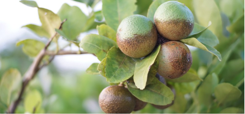 Lemon tree pests and diseases. Lemon trees are relatively easy to grow but there are some common lemon tree diseases and pests from aphids to sooty mount on leaves. Learn how to spot them now.