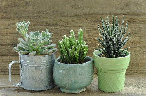 Overwinter more tender succulents but bring them indoors
