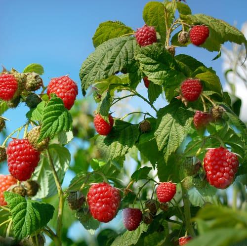 Primocanes or floricanes raspberry canes