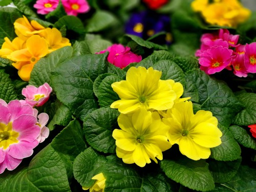 The double primrose is something you can buy in garden centres and nurseries in the Autumn. The double form rosettes can be grown in containers or hanging baskets and subsequently transferred to the ground when the season changes.