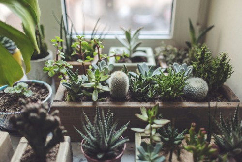 Succulents are best placed o a south facing windowsill over winter