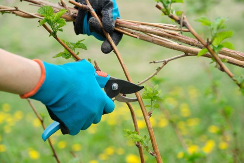 Pruning raspberries in containers