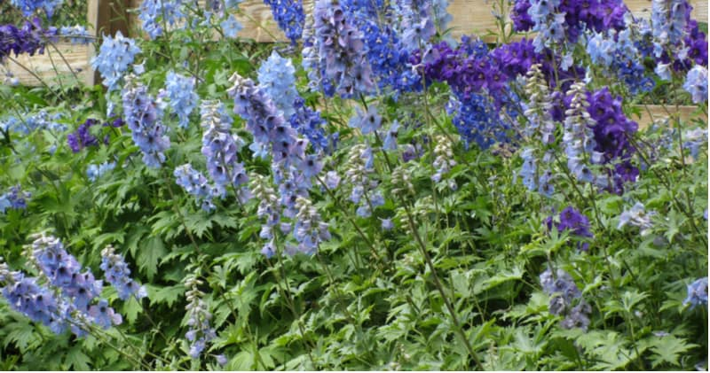 Taking cutting from delphiniums is an excellent way to propagate them in spring and is fairly effective if you take basal cutting. Learn step by step now.