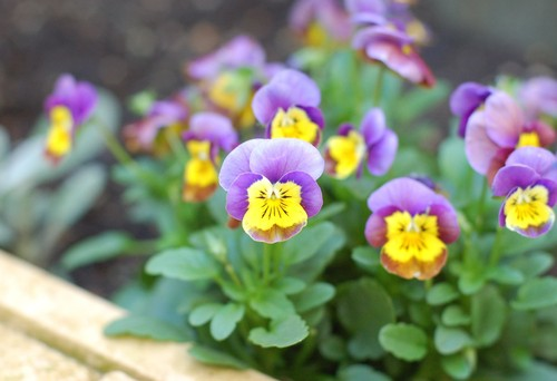 Winter flowering violas look like they are smiling at you. These flowers are just as hardy as pansies and they offer the unique butterfly petal arrangement situated above the lower tongue petal.