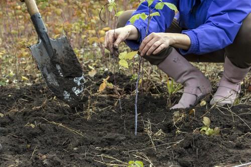 When to plant raspberries