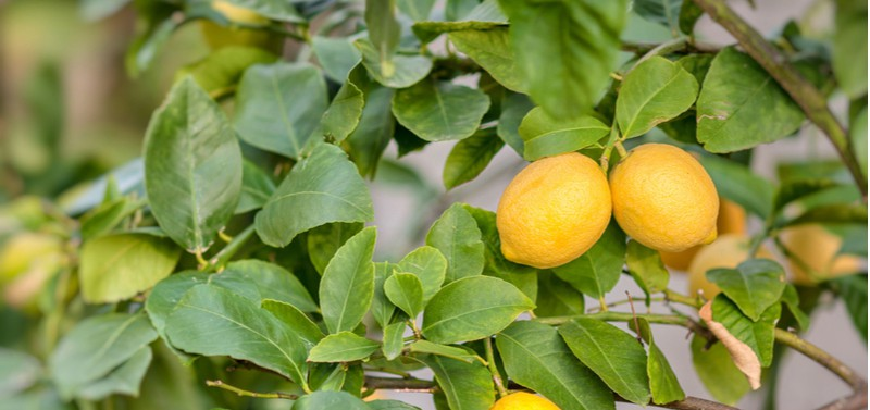 Why lemon tree dropping leaves. Lemon trees losing there leaves is a common question we get asked so in this article we explain how to prevent lemon tree leaf drop. Read about the top causes.