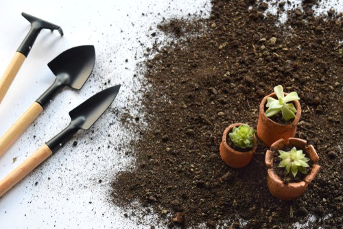 Transplanting succulents into new compost