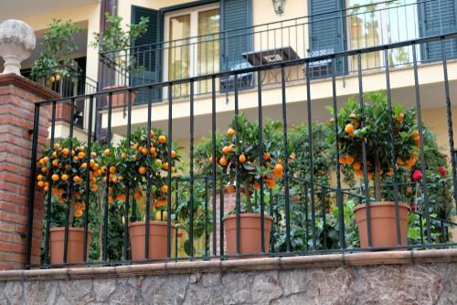 Calamondin citrus trees growing outdoors over summer
