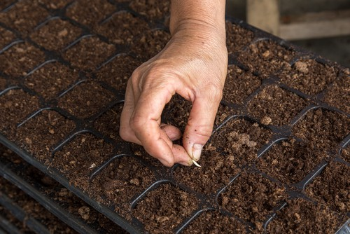 sowing succulent seeds into trays with horticultural grit mixed with compost