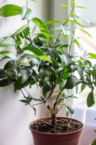 Citrus lime tree care