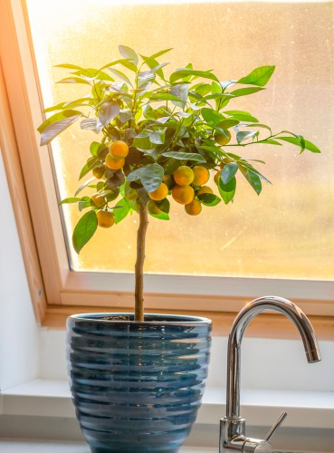 Orange tree winter care