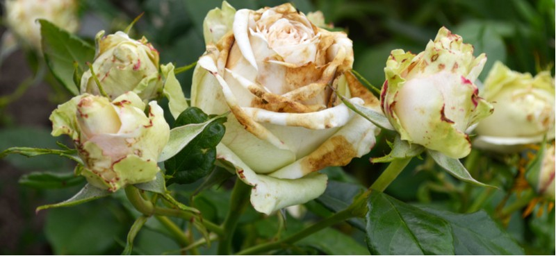 Roses as stunning as they are do suffer from rose problems and diseases such as Black spot, mildew, rose gall, stem dieback just to name a few.