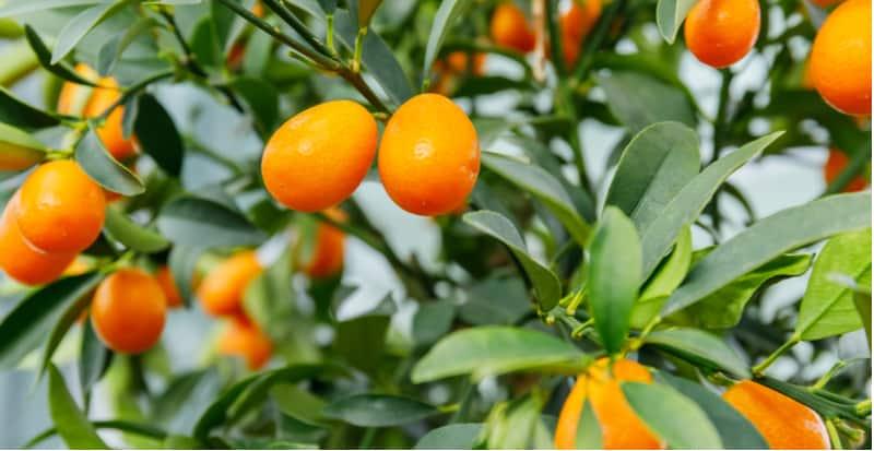 Growing kumquat plants indoors