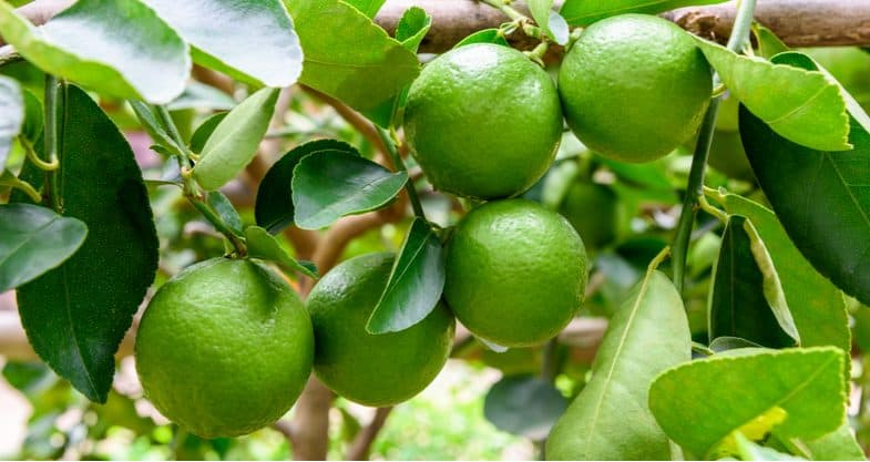 Growing lime trees in pots and containers
