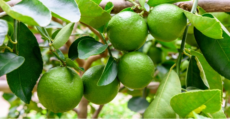 Growing Lime trees in pots and containers is one of the best ways to grow citrus limes in the Uk. Learn more about planting and caring for lime plants now.