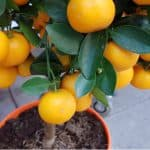 Growing orange trees in pots is very rewarding and the best way to grow orange trees as they can be brought indoors for winter.